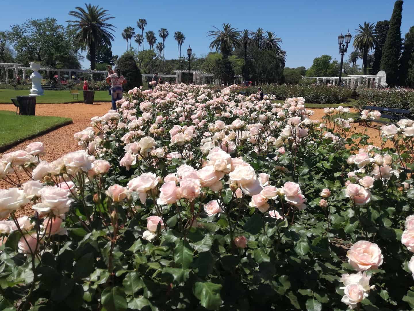 Roses blooming at El Rosedal in Palermo Green Areas